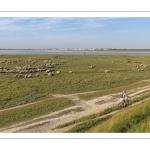 Moutons de prés salés au Cap Hornu