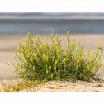 Réséda jaune ou réséda sauvage (Reseda lutea)