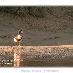 Le Tadorne de Belon est le plus grand des canards de surface en France. Son nid est installé dans un ancien terrier de lapin ou de renard. A marée basse, les oiseaux viennent se nourrir de vers de vase (verrouille) dans les marigots qui serpentent dans les mollières de la Baie de Somme - Saison : Printemps - Lieu : Cap Hornu, Saint-Valery, Baie de Somme, Somme, Picardie, France