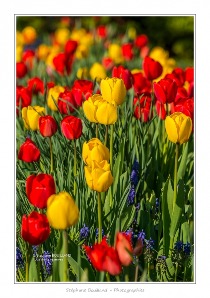 Tulipes_Saint-Quentin_18_04_2015_002-BorderMaker