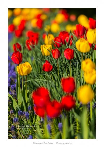 Tulipes_Saint-Quentin_18_04_2015_003-BorderMaker