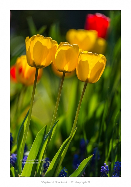 Tulipes_Saint-Quentin_18_04_2015_013-BorderMaker