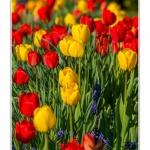 Tulipes_Saint-Quentin_18_04_2015_002-BorderMaker