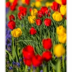 Tulipes_Saint-Quentin_18_04_2015_003-BorderMaker