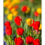 Tulipes_Saint-Quentin_18_04_2015_005-BorderMaker
