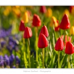 Tulipes_Saint-Quentin_18_04_2015_006-BorderMaker