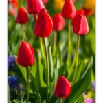 Tulipes_Saint-Quentin_18_04_2015_007-BorderMaker