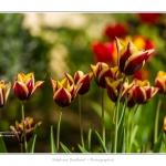 Tulipes_Saint-Quentin_18_04_2015_010-BorderMaker