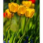 Tulipes_Saint-Quentin_18_04_2015_013-BorderMaker