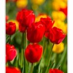 Tulipes_Saint-Quentin_18_04_2015_014-BorderMaker