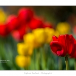 Tulipes_Saint-Quentin_18_04_2015_015-BorderMaker