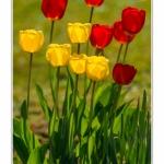 Tulipes_Saint-Quentin_18_04_2015_017-BorderMaker