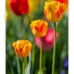 Tulipes_Saint-Quentin_18_04_2015_018-BorderMaker