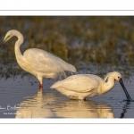 Spatule blanche (Platalea leucorodia - Eurasian Spoonbill) et Grande Aigrette (Ardea alba - Great Egret)
