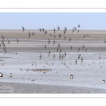 Bécasseaux variables en baie de Somme