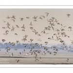 Canards Pilets et Canards sifleurs en Baie de Somme