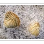 Coques prises dans la glace lors d'une vague de froid en baie de Somme