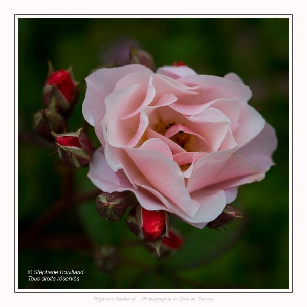 Roses_Valloires_18_06_2016_004-border