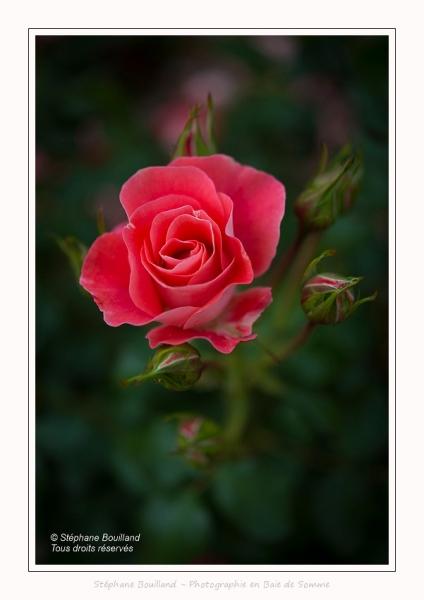 Roses_Valloires_18_06_2016_006-border