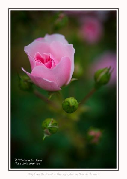 Roses_Valloires_18_06_2016_017-border
