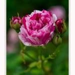 Roses_Valloires_18_06_2016_001-border
