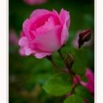Roses_Valloires_18_06_2016_003-border