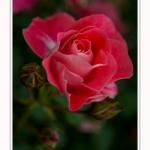 Roses_Valloires_18_06_2016_005-border