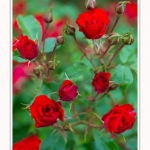 Roses_Valloires_18_06_2016_009-border