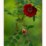 Roses_Valloires_18_06_2016_011-border
