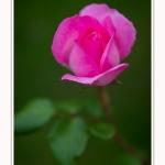 Roses_Valloires_18_06_2016_014-border