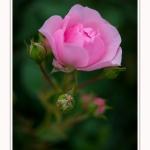 Roses_Valloires_18_06_2016_016-border