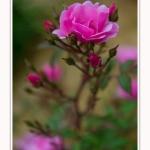 Roses_Valloires_18_06_2016_018-border