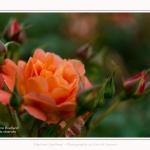 Roses_Valloires_18_06_2016_019-border