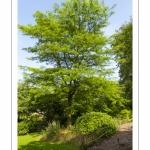 Gleditsia japonica, Févier du Japon - Abbaye et Jardins de Valloires