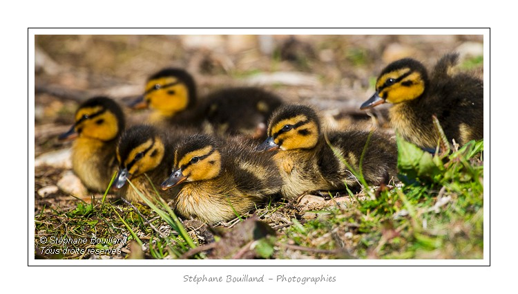 Famille canard…