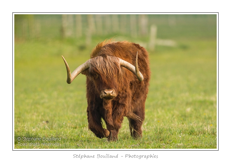 Vache_Highland_Cattle_01_05_2013_006-border