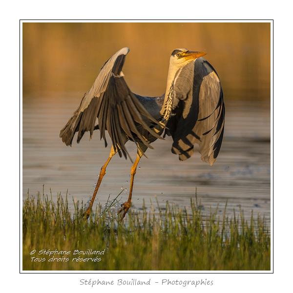 Heron_cendre_17_05_2014_034-border