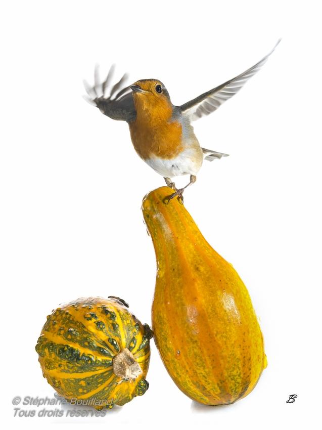 Oiseaux du jardin, coloquintes et champignons