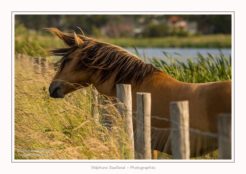 Avec les chevaux Henson en Baie de Somme