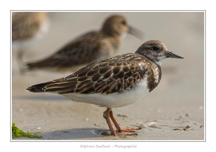 Quelques oiseaux de la Baie de Somme