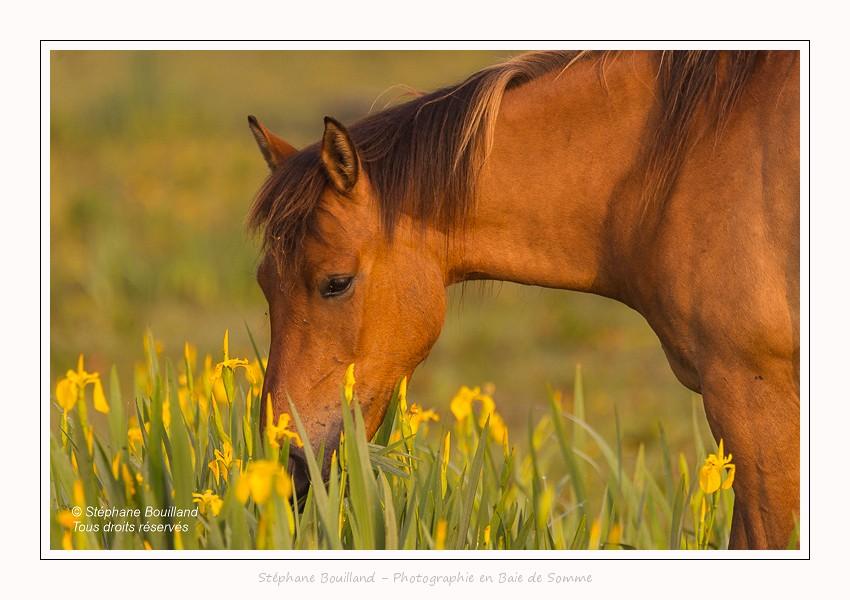 Chevaux Henson dans une pâture humide où poussent des iris des marais jaunes. Saison : Printemps - Lieu : Saint-Quentin-en-Tourmont, Baie de Somme, Somme, Picardie, Hauts-de-France,France