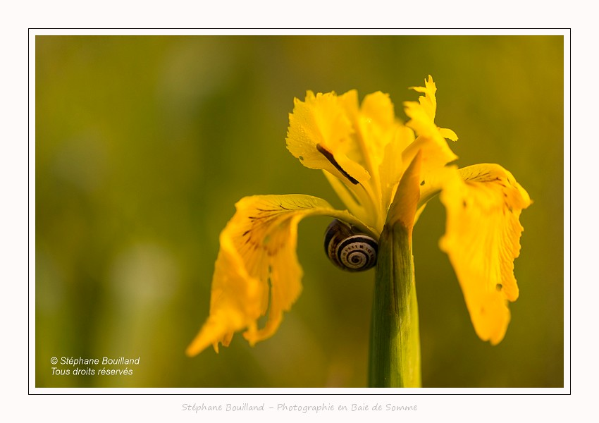 L'iris des marais