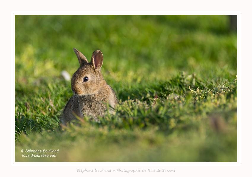 Jeune lapin au terrier - Saison : Printemps - Lieu : Cayeux-sur-mer / Ault, Hable d'Ault, Somme, Picardie, Hauts-de-France,France