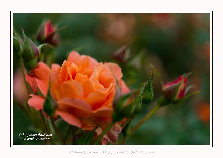 La roseraie des Jardins de Valloires - Saison : Printemps - Lieu : Jardins de Valloire, Argoules, Somme, Picardie, Hauts-de-France,France