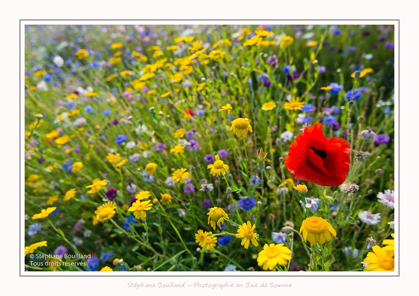 Saison : été - Lieu : Cap Hornu, Saint-Valery-sur-Somme, Somme, Picardie, Hauts-de-France