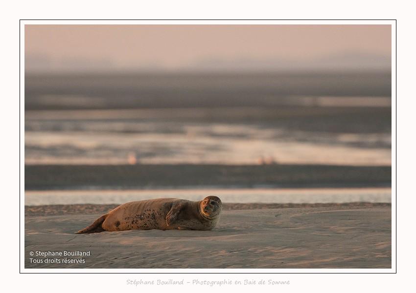 A marée montante, les phoques sont peu à peu délogés des banc de sable par la mer. Saison : été - Lieu : Berck-sur-mer, Pas-de-Calais, Hauts-de-France, France.