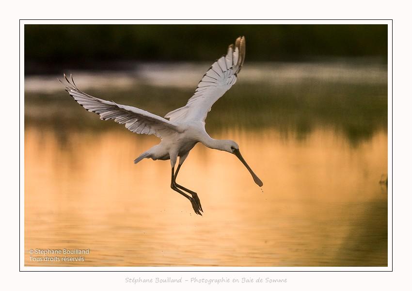 Les oiseaux au marais du Crotoy en Baie de Somme