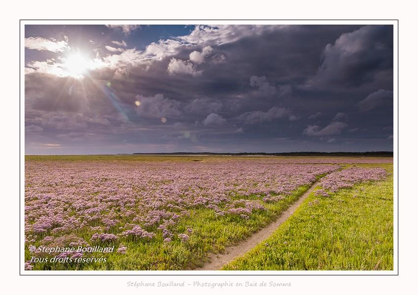 Les lilas de mers de la réserve naturelle de la Baie de Somme