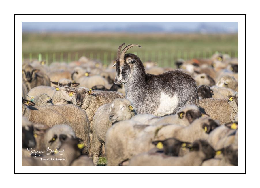Les moutons de prés-salés de la Baie de Somme