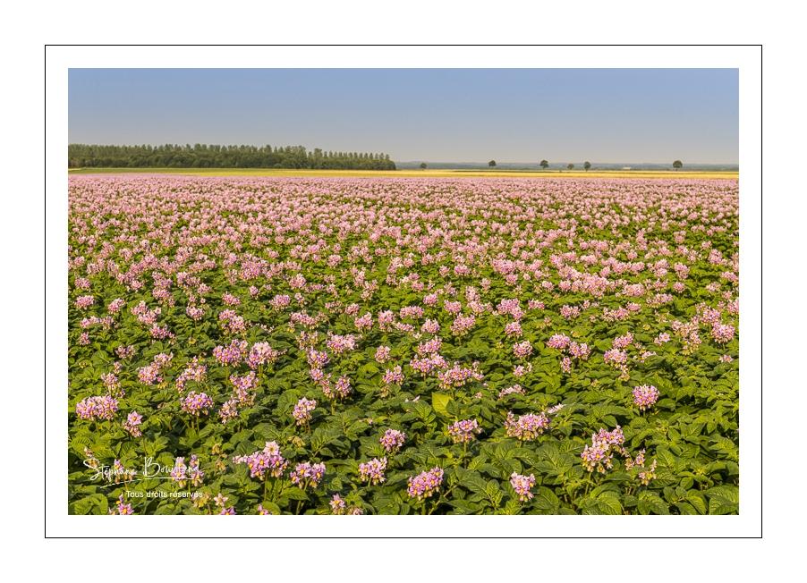 Un beau champ de pommes de terre